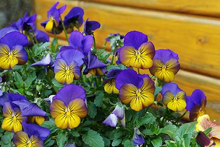 Våren är tiden att shoppa blommor.